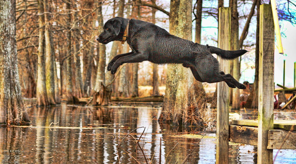 Dog leaping fearlessly off a dock into water
